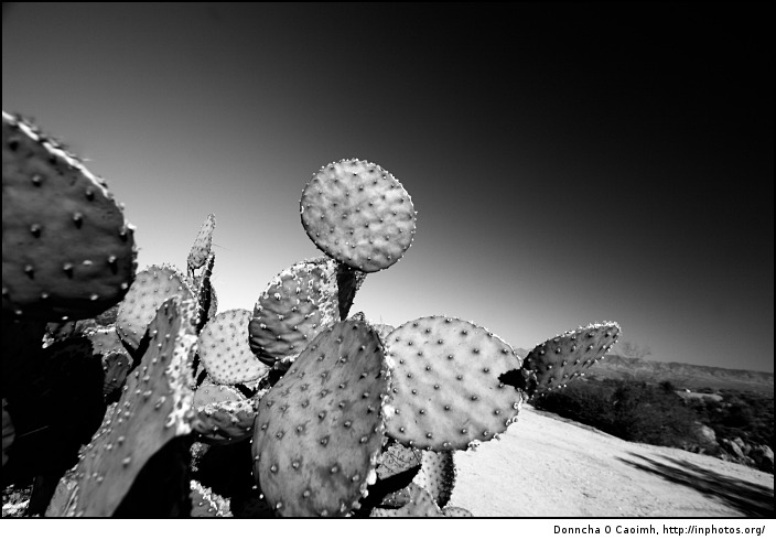 spotty-cactus
