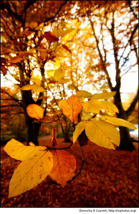 golden-leaves