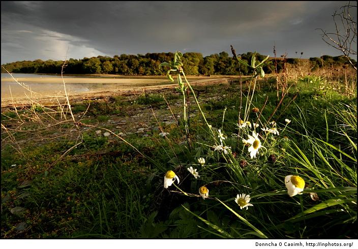 windswept-daisies