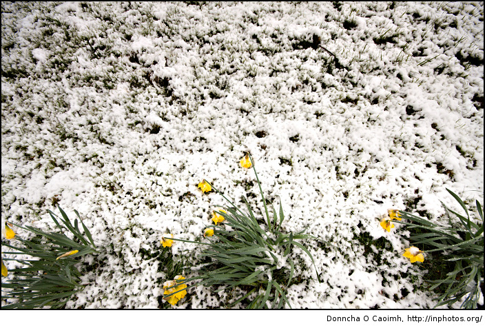 yellow-daffodils-lost-in-snow