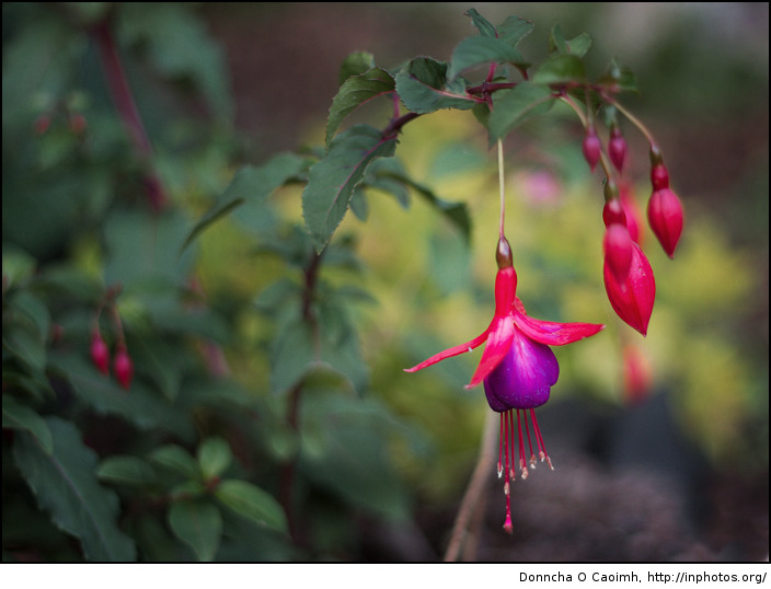 Flowers of Fuchsia