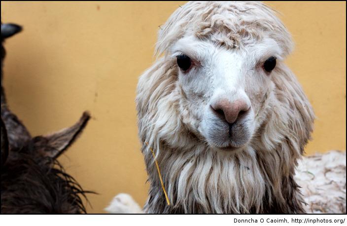 Alpacas know best