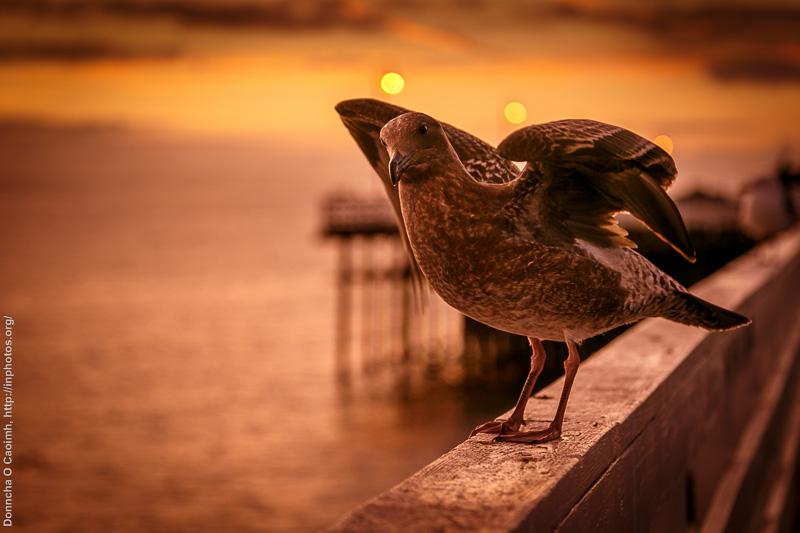 A Curious Pigeon