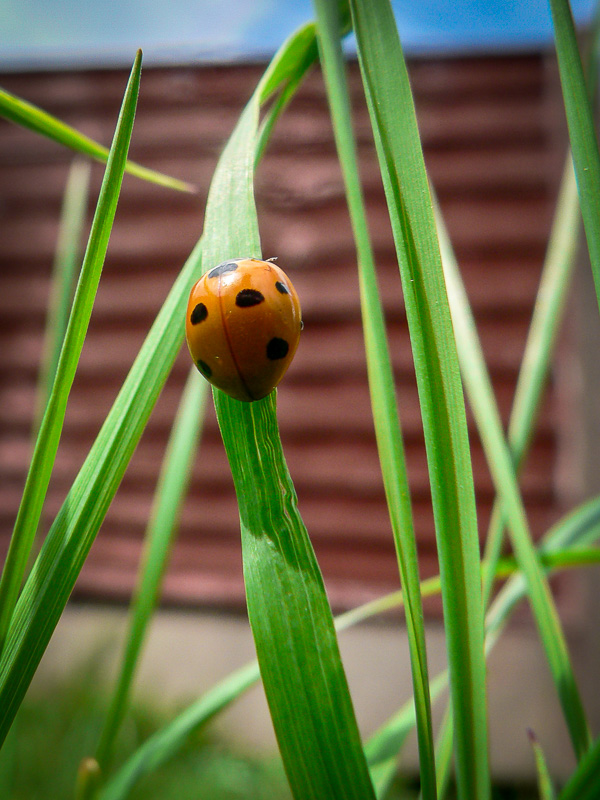 ladybird-on-the-grass