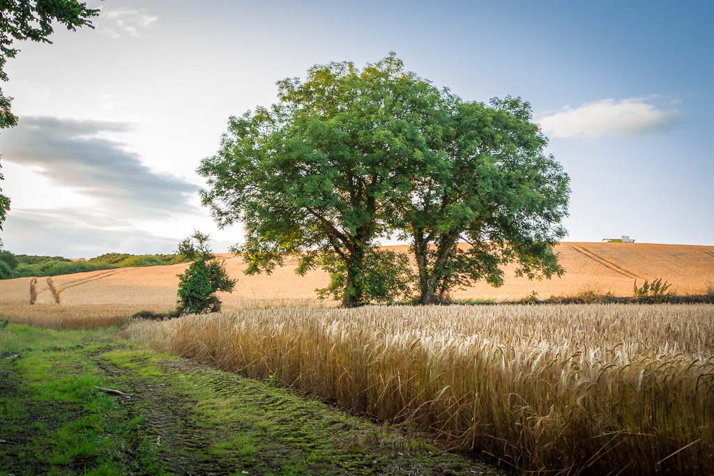 The tree in the wheat field