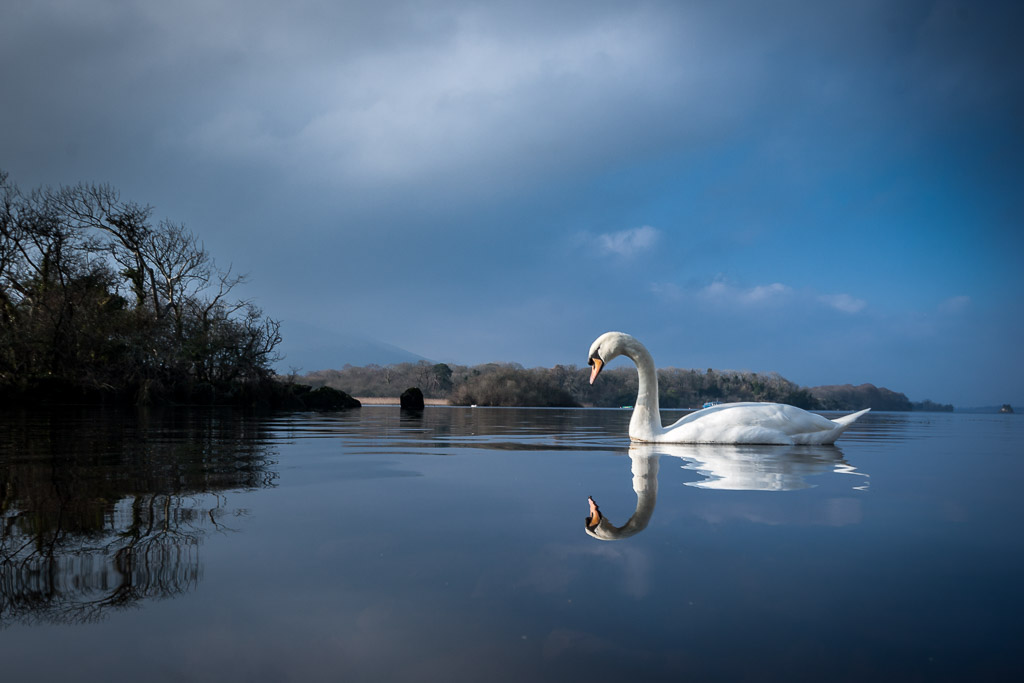 swan-on-the-lakes-of-killarney