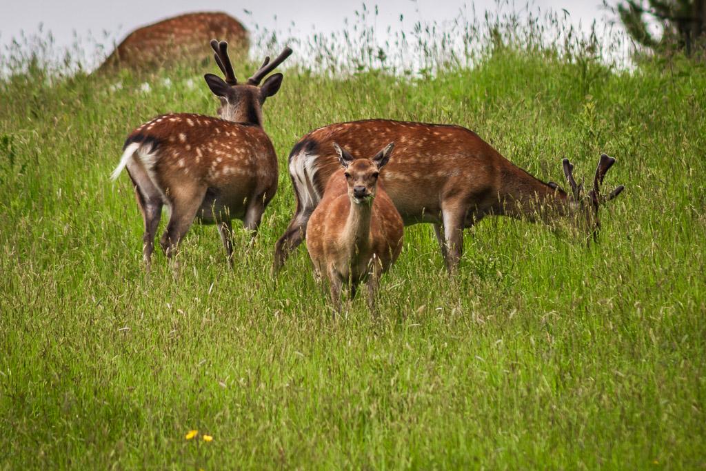doneraile-deer