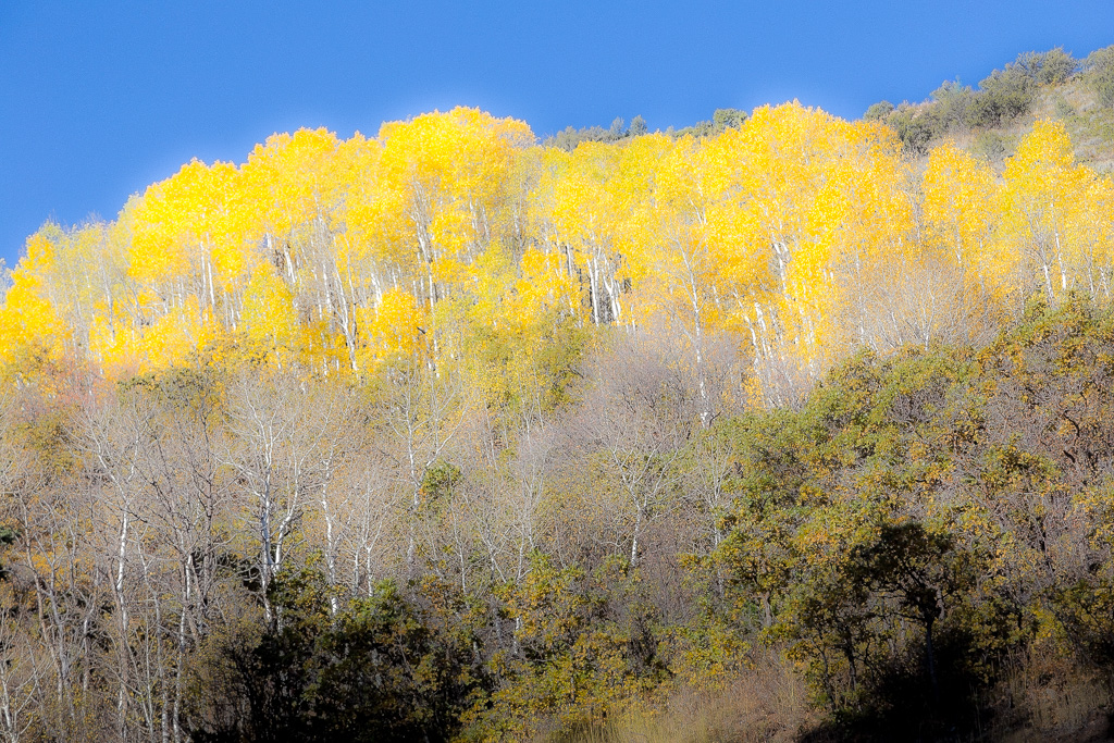 yellow-utah-aspen