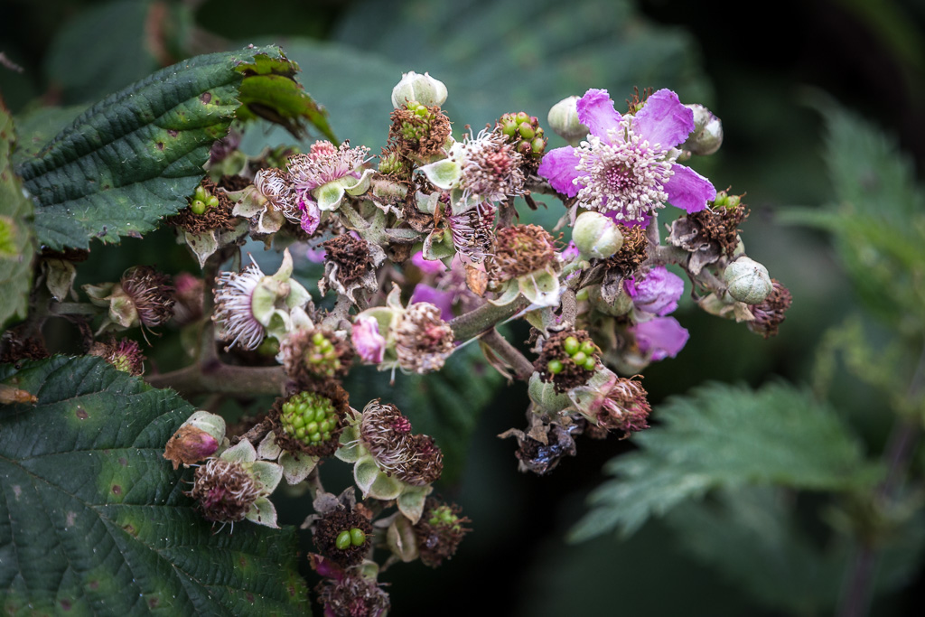 flowers-in-the-brambles