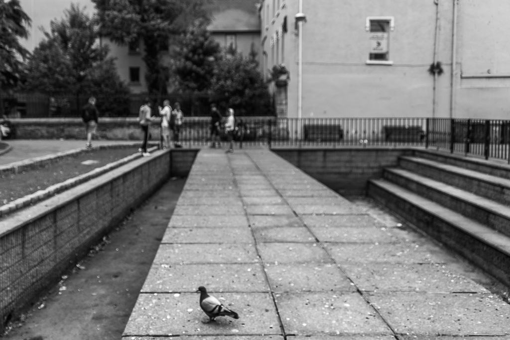 pigeon-in-bishop-lucey-park