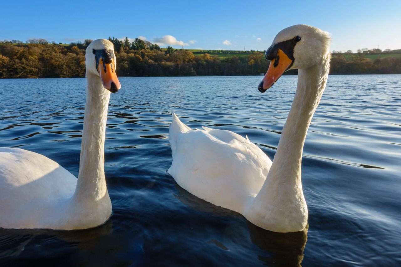 The Swans of Blarney Castle