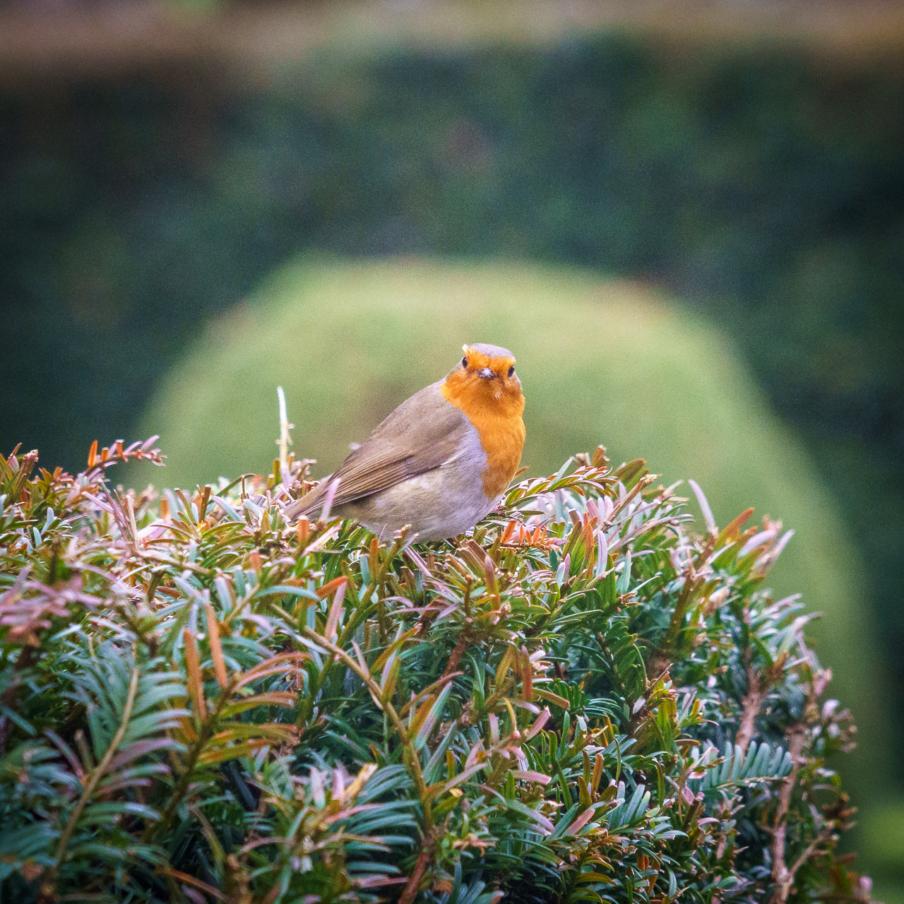A Robin at the Castle