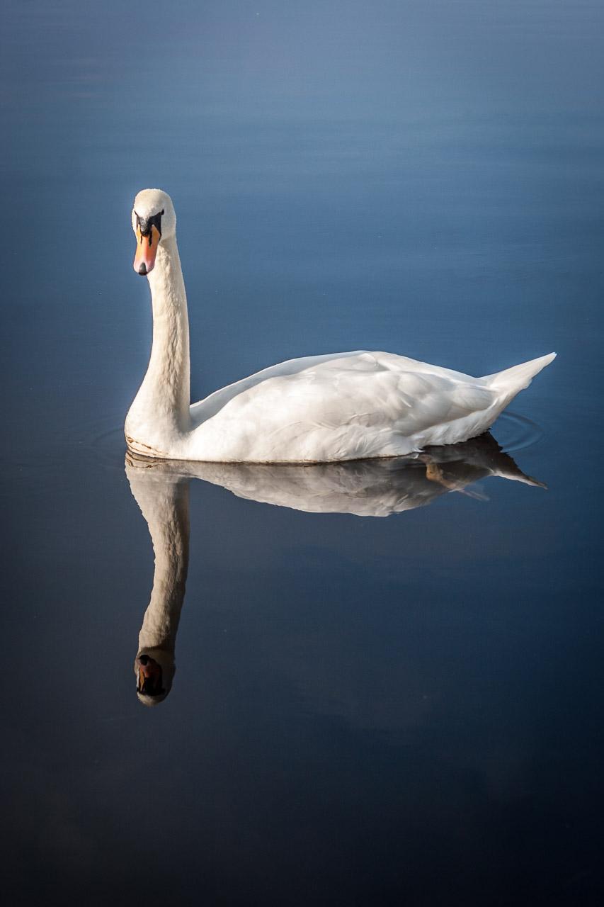 A Swan by Ross Castle