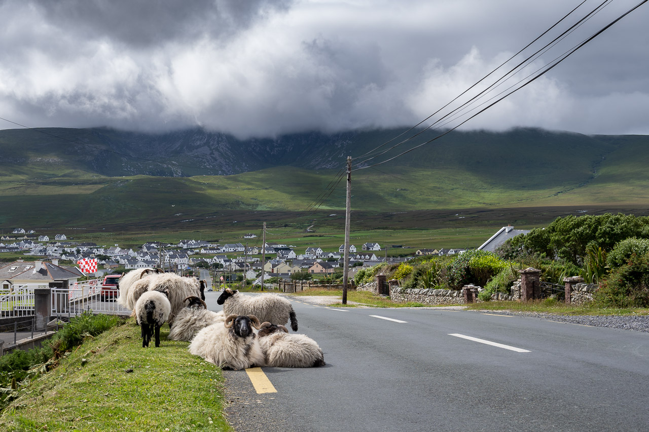 The Sheep of Achill Island