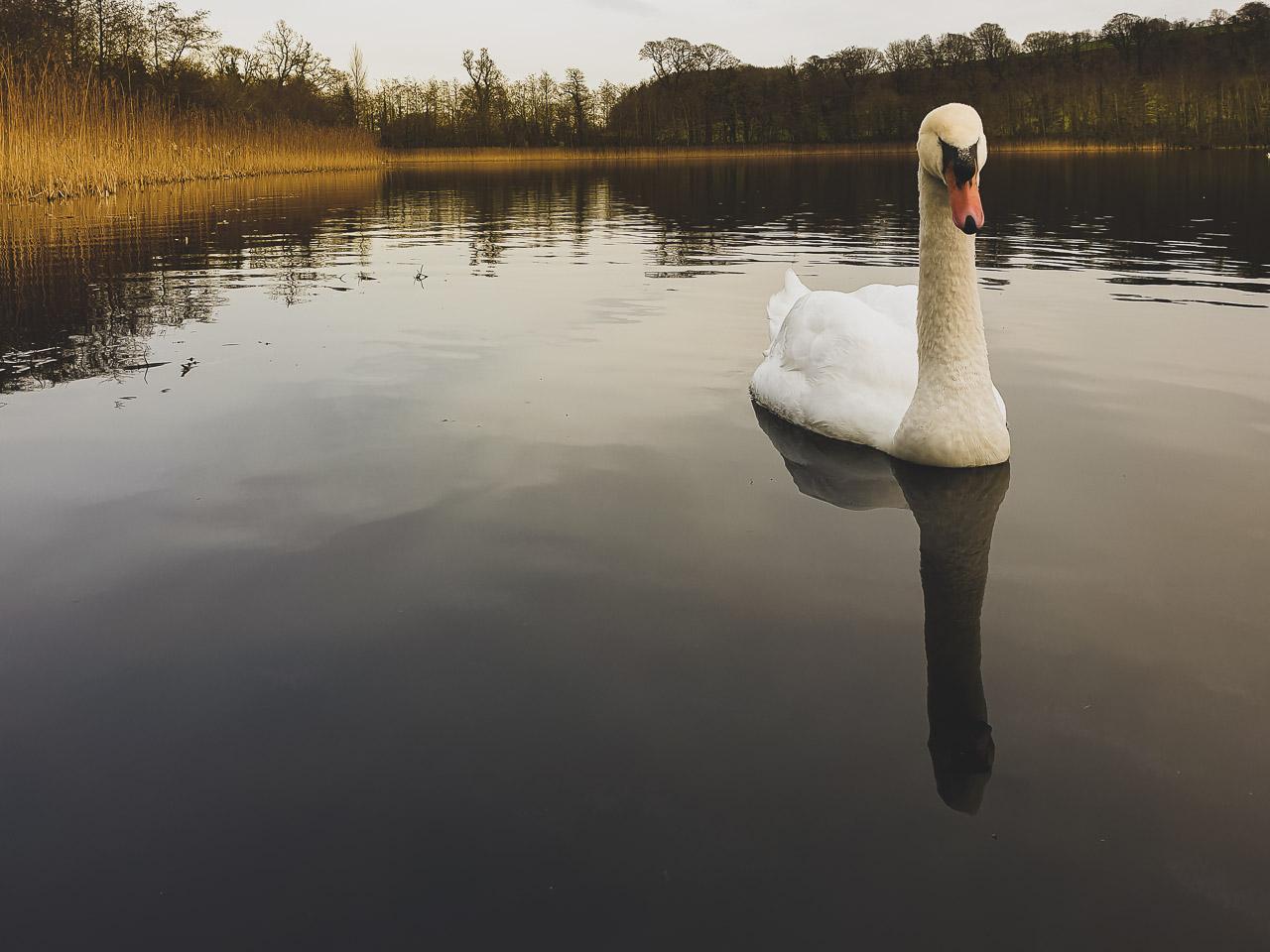 Blarney Lake Swan