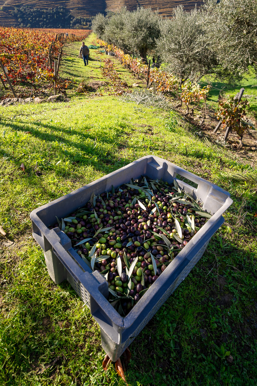 Grapes for the Port