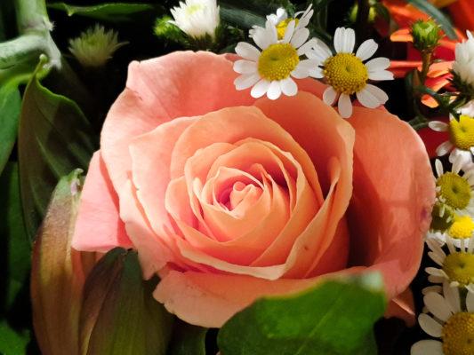 The Peach Rose