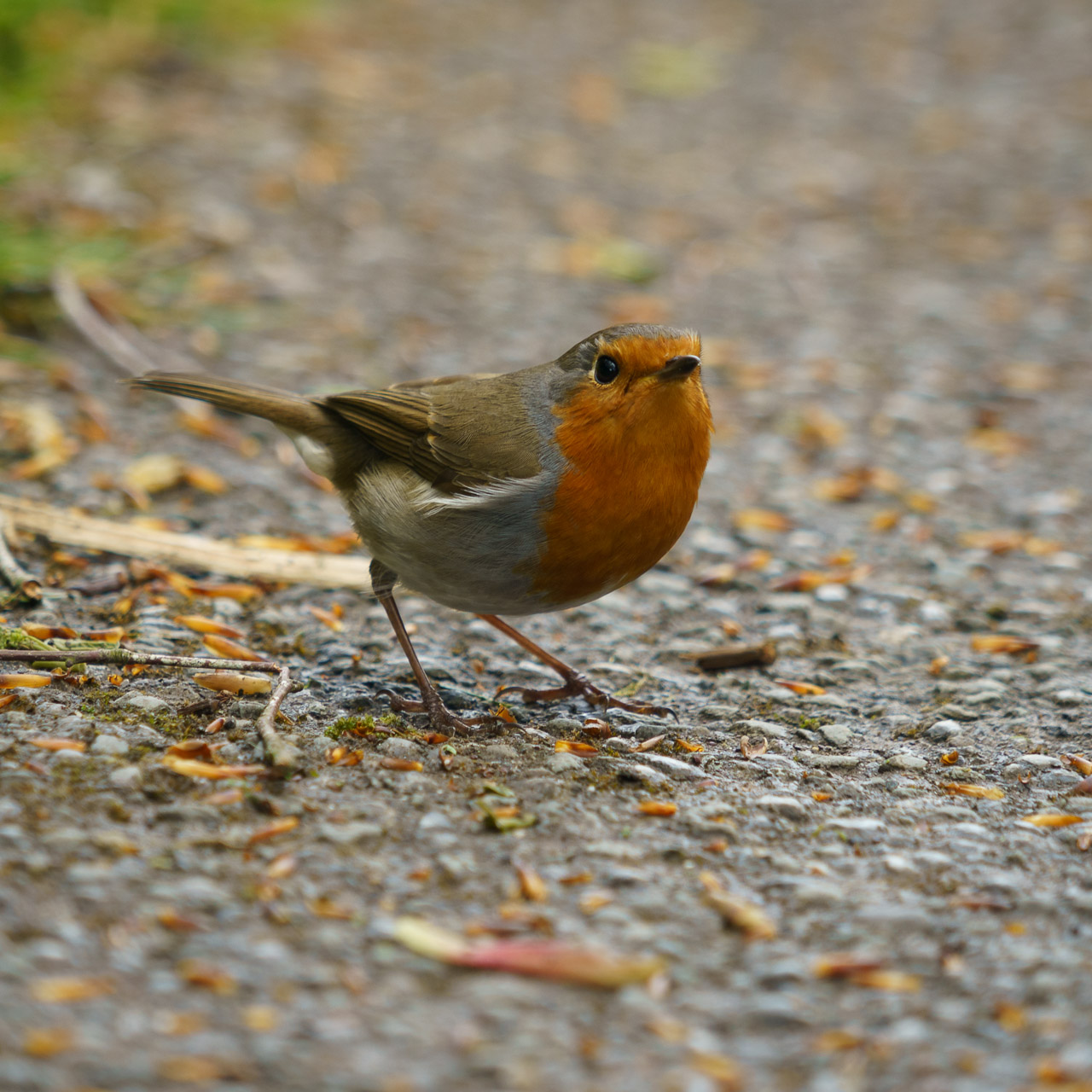 My Robin Friend