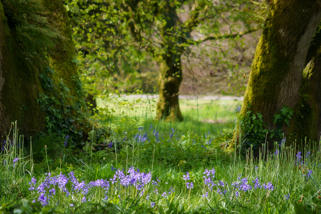 Bluebells by the trees