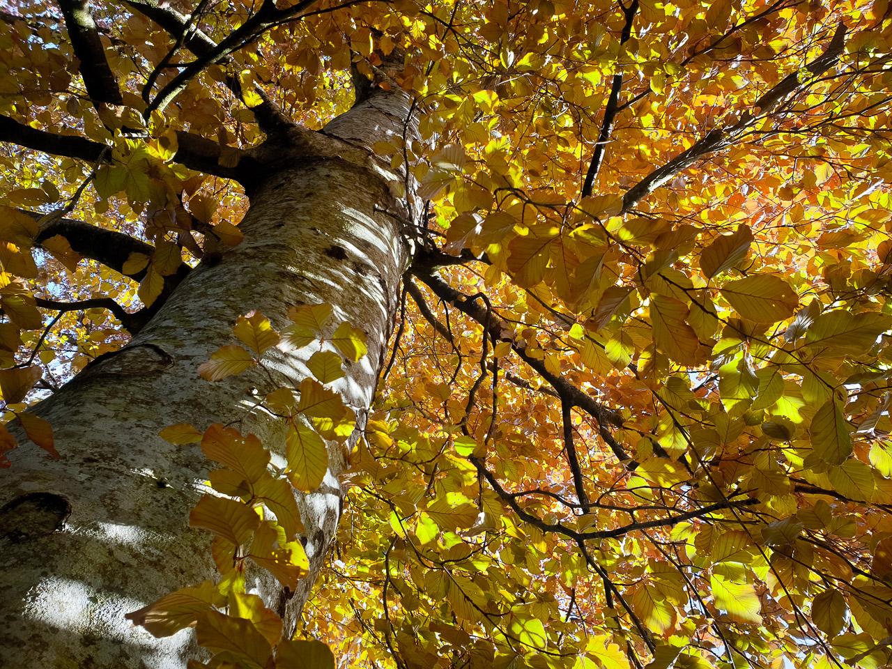 Golden Spring Leaves