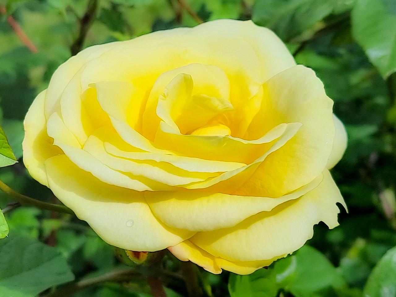 My Father in Law's Yellow Rose