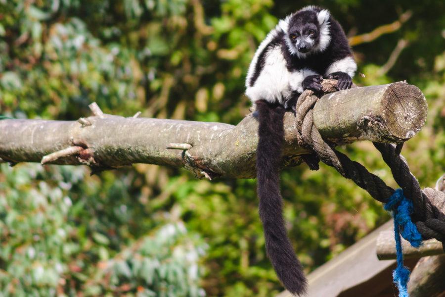 Fota's Black and White Ruffed Lemur