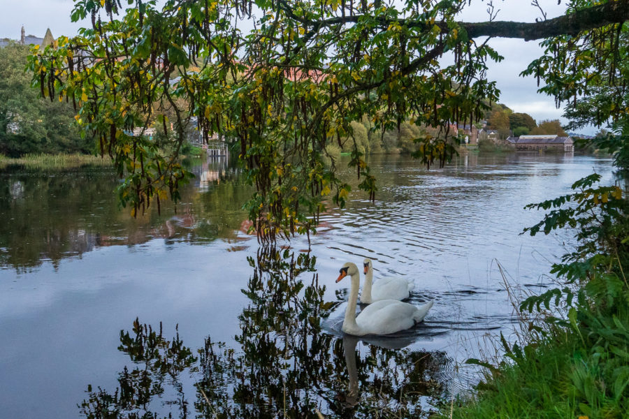 Swans on the River Lee