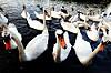 The Swan Gang