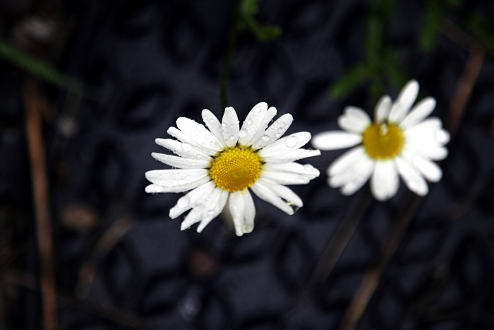 Daisy drops of rain
