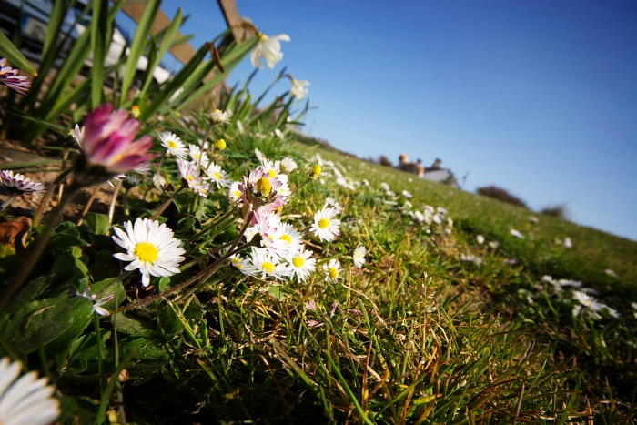 Daisies in the grass